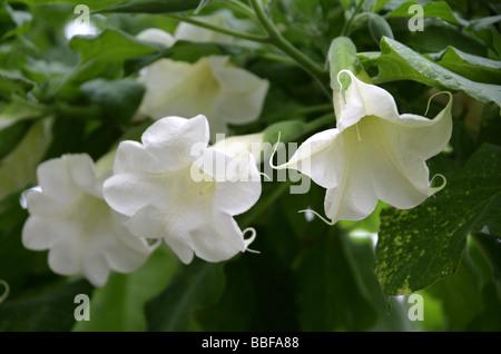 Angel Trumpet, Angel's Trumpet Tree or Datura, Brugmansia arborea, Solanaceae, Tropical South America - Stock Image