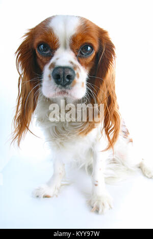 Cavalier king charles spaniel on isolated white studio background.. - Stock Image