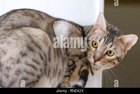 Young male Bengal cat portrait indoors looking behind his back - Stock Image