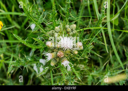 Spear thistle Cirsium vulgare, Cressbrook Dale NNR Peak District National Park June 2014 - Stock Image