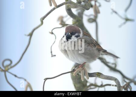 House sparrow, Passer domestics, in winter, Upper Palatinate, Bavaria, Germany, Europe - Stock Image