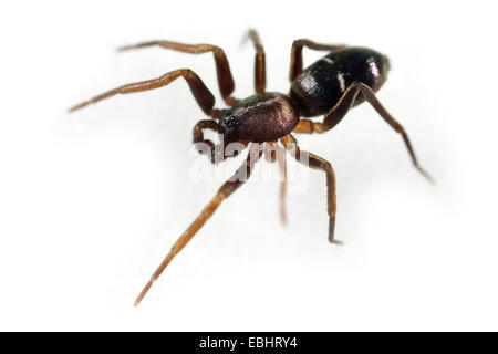 A male Pine-Tree Ant-Spider (Micaria subopaca) on a white background, part of the family Gnaphosidae - Stealthy - Stock Image