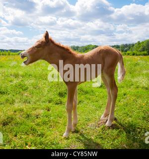 Dayold chestnut Icelandic horse foal yawning - Stock Image