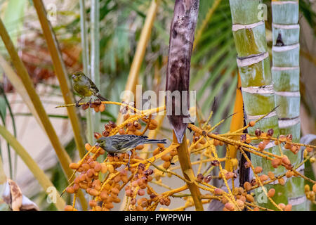 Atlantic canary (Serinus canaria), alson known as the common or wild canary, eating berries in La Palma, Canaries, Spain - Stock Image