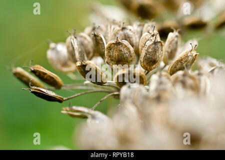 Hogweed or Cow Parsnip (heracleum sphondylium), close up of a group of seed pods beginning to split open and release their seeds. - Stock Image