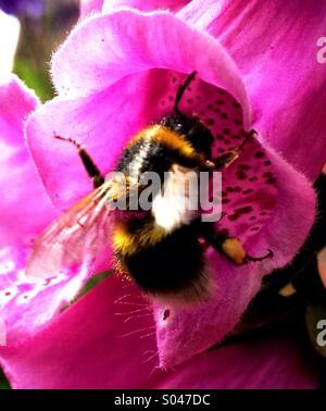 Bee on Foxglove - Stock Image
