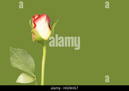 A single rose flower and stem on green background - Stock Image