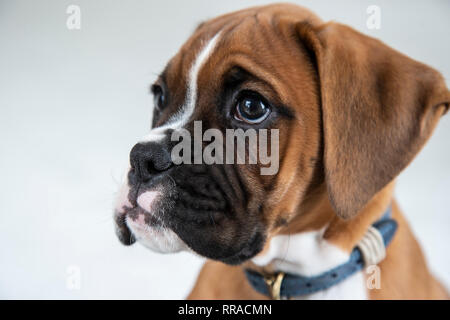 Close up headshot of a ten week old boxer dog puppy - Stock Image
