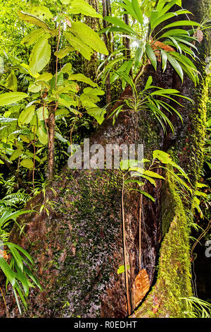 Tropical Hardwood Tree Dominica West Indies - Stock Image