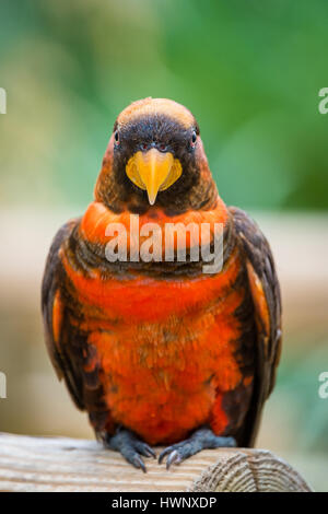 Close up of a Dusky Lory Parrot sitting on a branch. - Stock Image