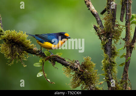 A male Violaceous Euphonia (Euphonia violacea) from the Atlantic Rainforest of SE Brazil - Stock Image