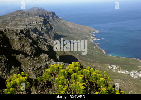 View Over Camps Bay from Table Mountain, Cape Town, Western Cape, South Africa. Golden Coulter Bush, Hymenolepis - Stock Image