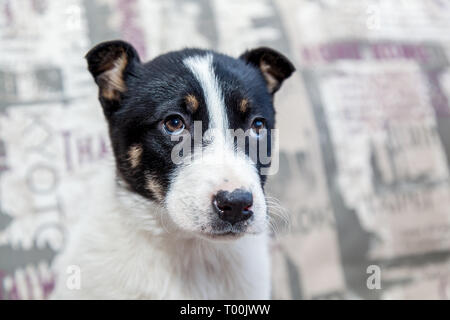 A puppy with sad eyes lying on the sofa looks at the owner with a kindly look. - Stock Image