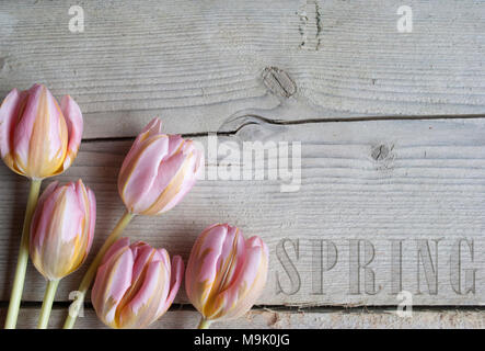 close up of blooming tulips on wooden background, with text spring - Stock Image