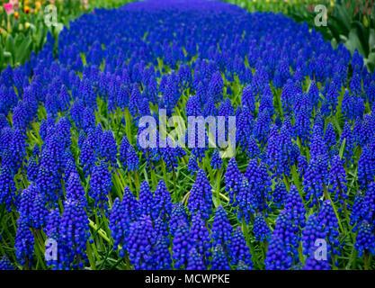 Grape Hyacinth - Stock Image