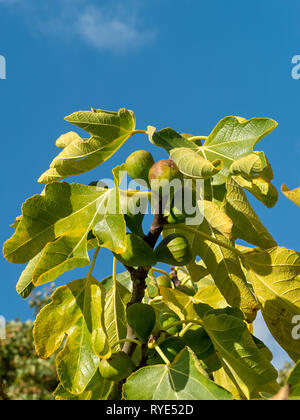 Sunlit green Figs growing on a fig tree (Ficus carica Angelique) branch with leaves against blue sky, Autumn, England, UK - Stock Image
