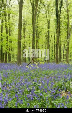 woodland on Angmering Park Estate, trees, Common Beech, Fagus Sylvatica, Bluebells, Hyacinthoides non-scripta, Sussex, UK, April, - Stock Image