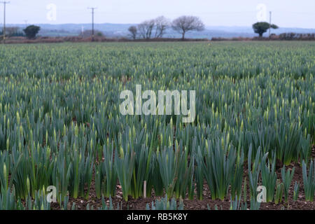Young daffodils growing in a field in Cornwall, UK - Stock Image