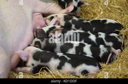 Four very spotty piglets suckling. Woodchurch, Kent, UK - Stock Image