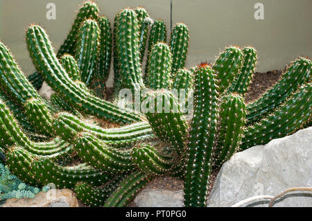 Echinopsis candicans commonly known as the Argentine Giant - Stock Image