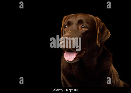 Funny Portrait of Happy Labrador retriever dog smiling on isolated black background, profile view - Stock Image