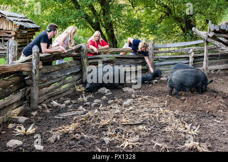 LIMESTONE, TN, USA-9/29/18: Domestic pigs being observed and petted at the David Crockett Birthplace State Park. - Stock Image