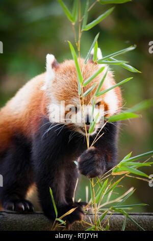 Red panda bear, Ailurus fulgens, in his natural habitat. - Stock Image