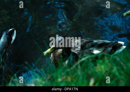 Mallard ducks in water near grassy bank waiting to be fed. - Stock Image