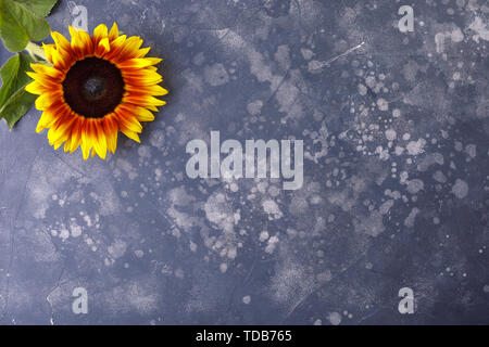 Beautiful, yellow sunflower on a black background, top view, close-up. An interesting, unusual and creative look. Flat lay. - Stock Image