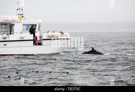 Bottle Nose Dolphins, Tursiops truncatus interacting with a wildlife watching boat off the Farne Islands, Northumberland, UK. - Stock Image