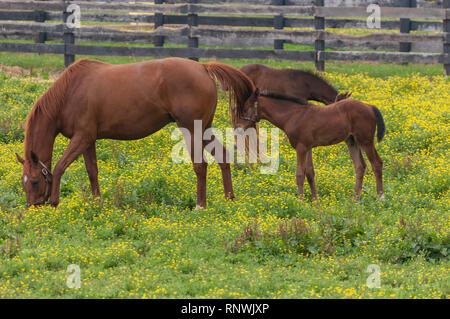 Horses on Kentucky Horse Farm - Stock Image