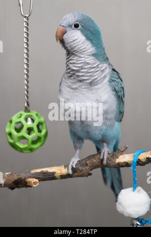 Alert blue Quaker Parrot pet bird on his play perch with balls - Stock Image