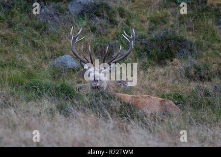 Red deer stag in Glen Muick, Cairngorms, Scotland. - Stock Image