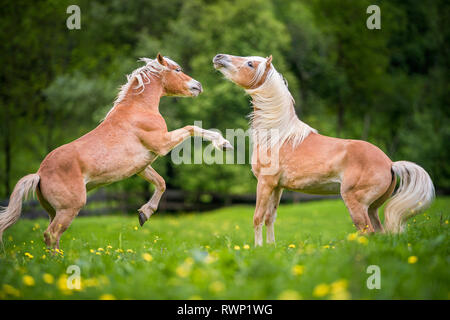 Haflinger Horse. Two juvenile stallions play-fighting on a pasture. South Tyrol, Italy - Stock Image