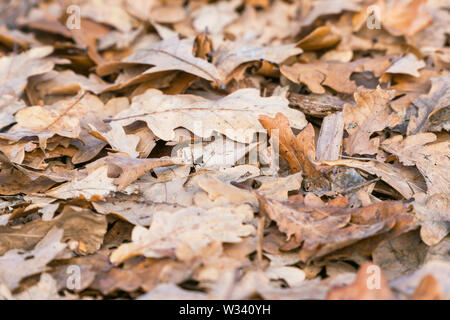 Dry fallen oak leaves on the ground. Selective focus - Stock Image