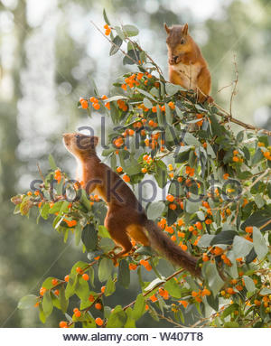 red squirrels standing on Honeysuckle branches - Stock Image