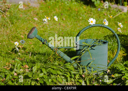Green watering can and daisies - Stock Image