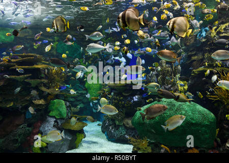 Indo-Pacific Coral Reef and tropical fish of Rainbow Reef at Ripley's Aquarium Toronto - Stock Image