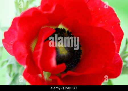 a single red anemone flower on white still life - fresh and contemporary Jane Ann Butler Photography  JABP1802 - Stock Image