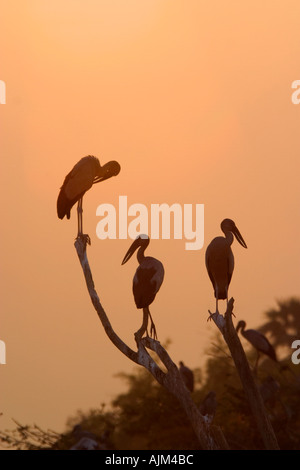 Indian Open billed storks Anastomus oscitans White Open billed storks in silhouet in dead trees at sunset - Stock Image