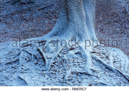Tree roots rimmed with the first snow of winter in Rouge National Urban Park in Toronto Ontario Canada - Stock Image
