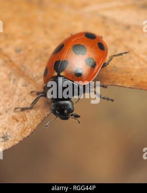 11-spot Ladybird (Coccinella 11-punctata) on bottom of dead leaf. Tipperary, Ireland - Stock Image