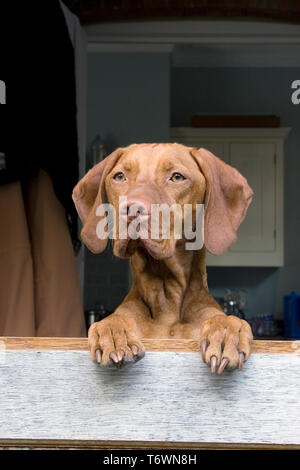 portrait young hungarian vizla dog jumping up at stable door - Stock Image
