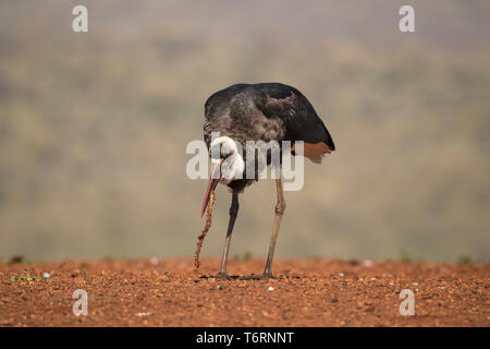 Woollynecked stork (Ciconia episcopus) with carrion, Zimanga private game reserve, KwaZulu-Natal, South Africa, September 2018 - Stock Image