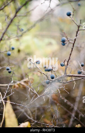Twigs with sloe berries - Stock Image