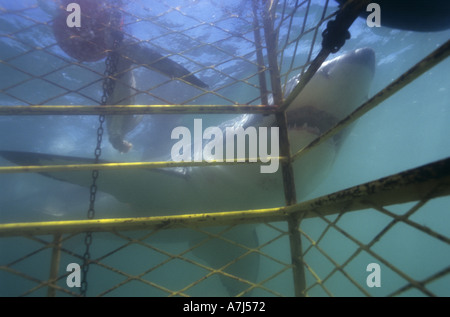 Great White Shark cage diving - Stock Image