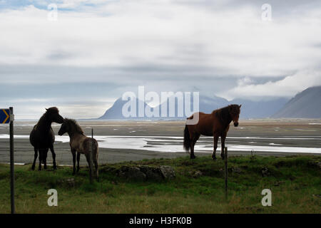 horses ponies in Iceland - Stock Image