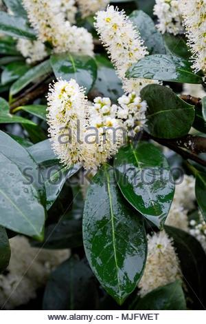 Blossoms on Kirschlorbeer, or cherry laurel, Prunus laurocerasus, in springtime with raindrops - Stock Image