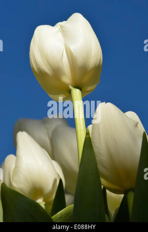 Hempstead, New York, U.S. - May 4, 2014 - The white 'Hofstra University' mayflowering tulip, a hybrid named for Hofstra University, is in bloom at the 31st Annual Dutch Festival, outdoors on the South Campus of Hofstra University, which features tulips growing throughout campus, with over 100 varieties in the Tulip Sampler Garden. A Long Island tradition. Credit:  Ann E Parry/Alamy Live News - Stock Image