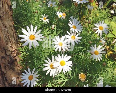 Daisy flowers - Stock Image